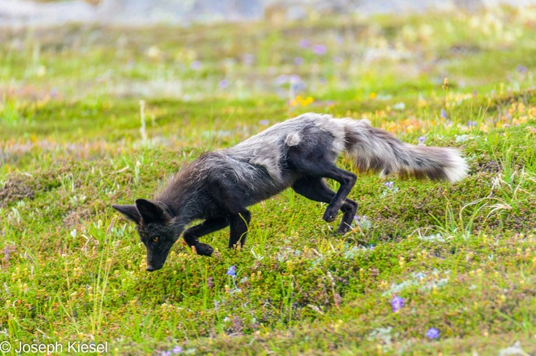 Fox. Photo by Joseph Kiesel.jpeg