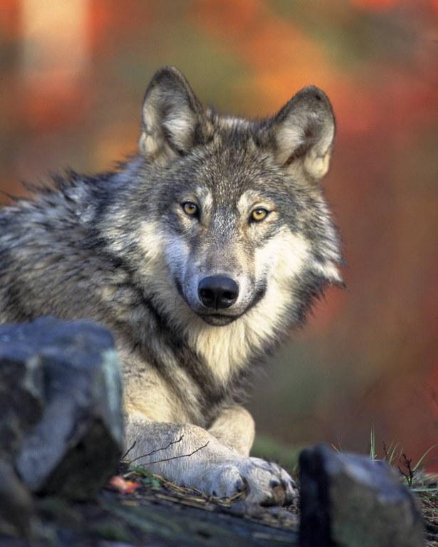 gray wolf_Gary Kramer_nat dig library.jpg