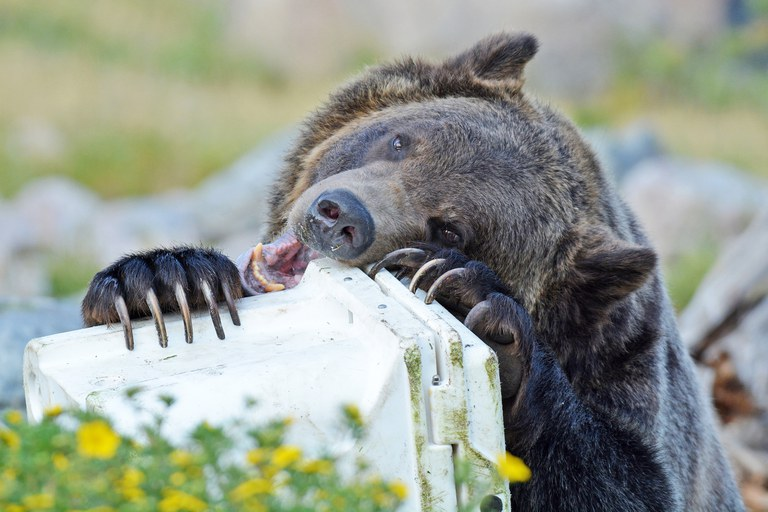 A close up shot of a grizzly bear attempting to chew through a hard sided food container at the Grizzly & Wolf Discovery Center.