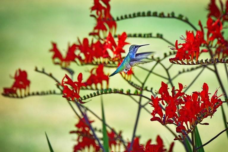 Hummingbird. Photo by Stephen Chan.