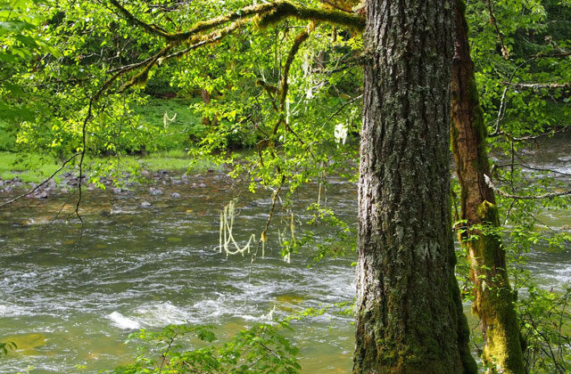 Lewis River Falls nutmeg