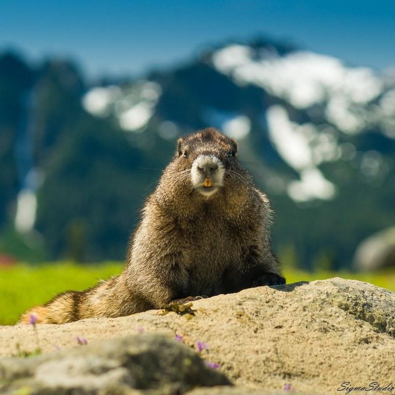 marmot. photo by demonstrate.jpeg