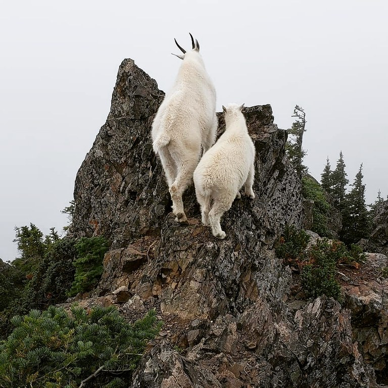 Two mountain goats perch on a rock, looking away from the camera. Photo by Gage DeRosia.