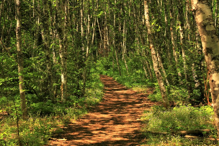 A gentle dirt path winds through white and gray splotchy trees with green leaves.