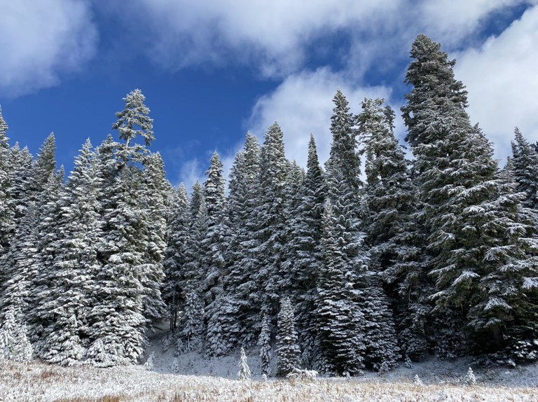 A wall of evergreen trees dusted with snow.