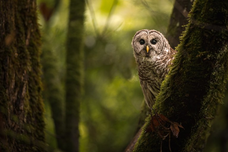 An owl sits on a mossy branch in the forest. Photo by Danny G.