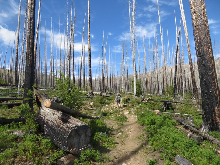 A hiker walks through a forest of blackened trees from a forest fire.