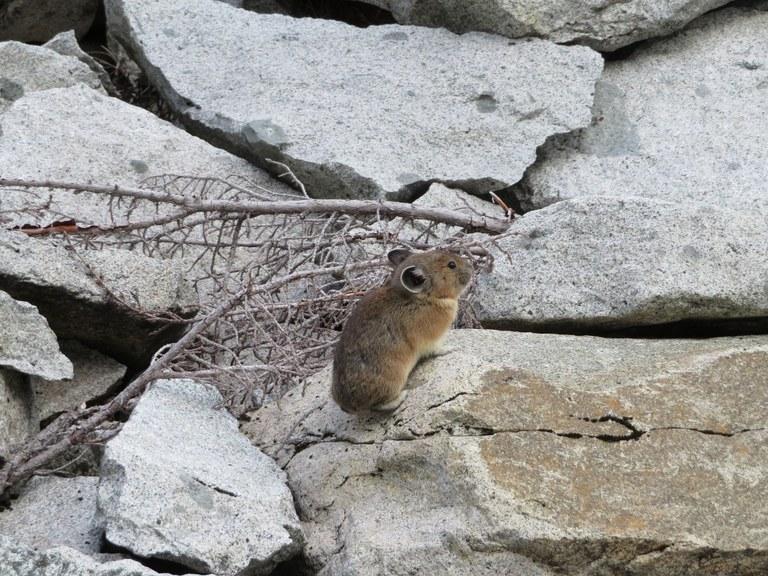 Pika. Photo by BeaverDawg..jpeg