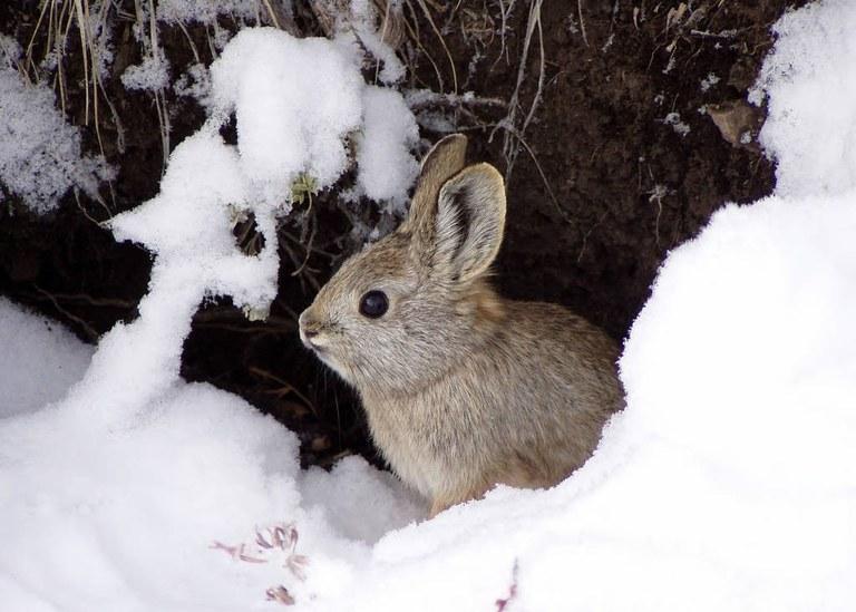 pygmy rabbit usfws.jpg