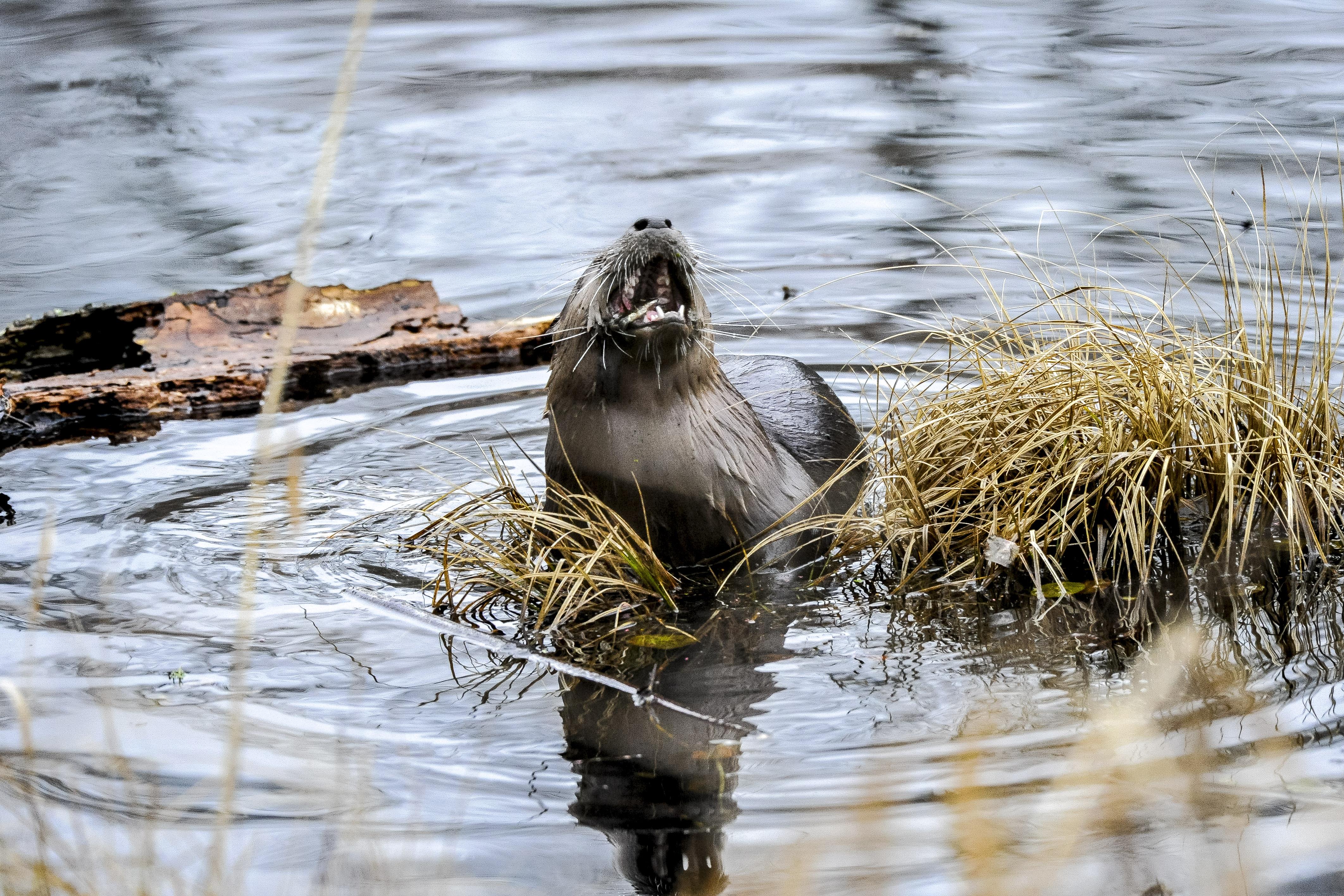 River Otter at Nisqually Wildlife Preserve Photo by Steven Robinson..jpg