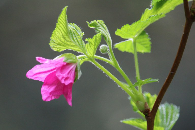 A close-up of a pink salmonberry flower. Photo by wafflesnfalafel.