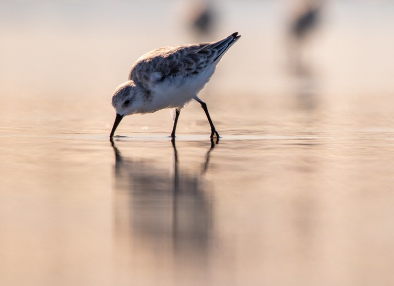 A sanderling probes the sand for food, with a peach colored sky reflected in the wet sand.
