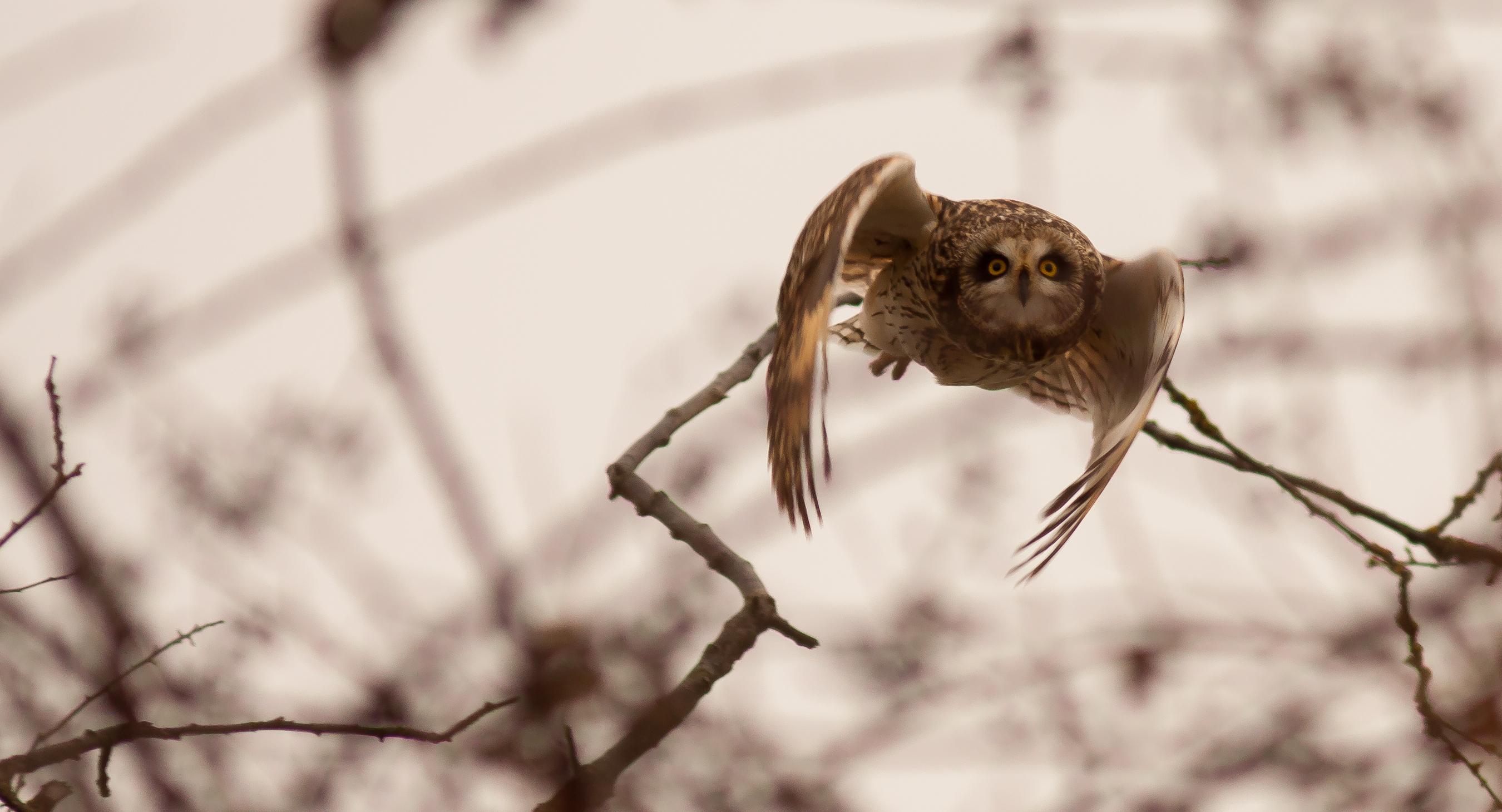Short Eared Owl at Skagit Wildlife Area Photo by Michelle Thornton..jpg