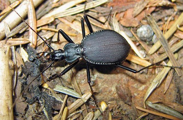 Snail-Eating-Beetle.jpg