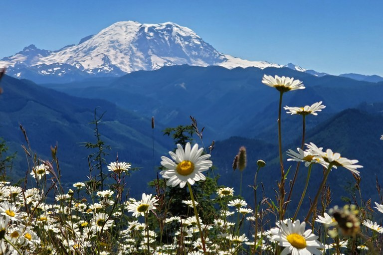 White daisies blooming with a view of Mount Rainier in the background.