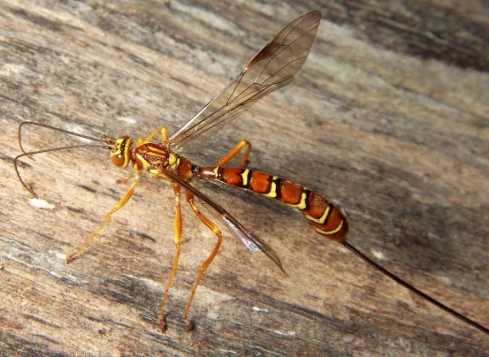 Stump Stabber Wasp.jpg