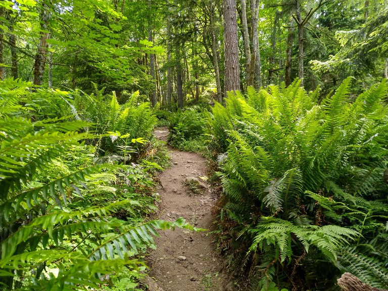 Thick ferns line a forested trail at Tiger Mountain
