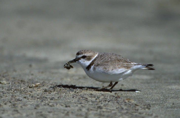 Western Snowy Plover from USFWS National Digital Library Photo by D. Pitkin..jpg