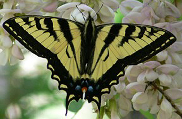 Western-Tiger-Swallowtail.jpg