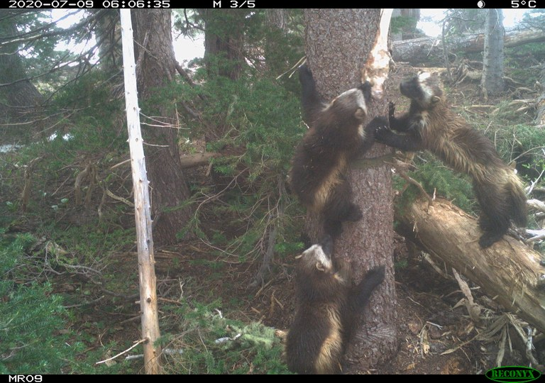 A female wolverine and two kits climb a tree.