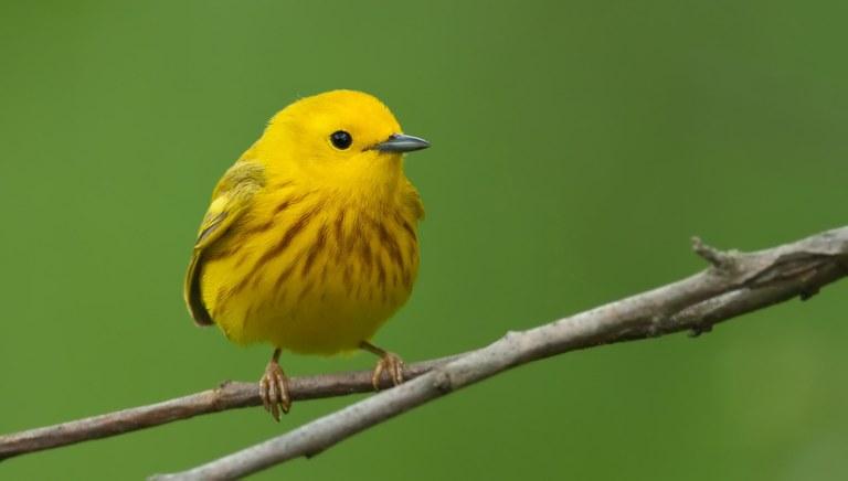 yellow warbler kelly colgan azar.jpg