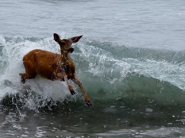 Deer surfing waves Shi Shi