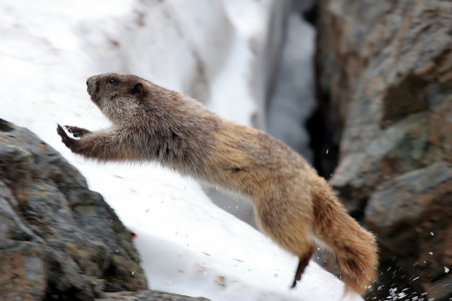 Marmot leaping