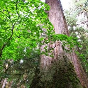 Cedar on South Fork Skokomish Trail