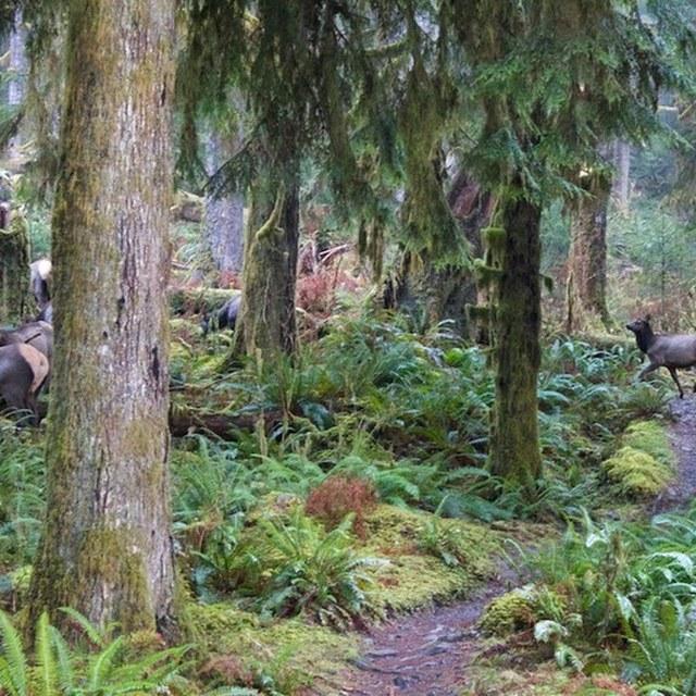 Hoh River Trail elk