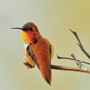Rufous Hummingbird Nisqually NWR