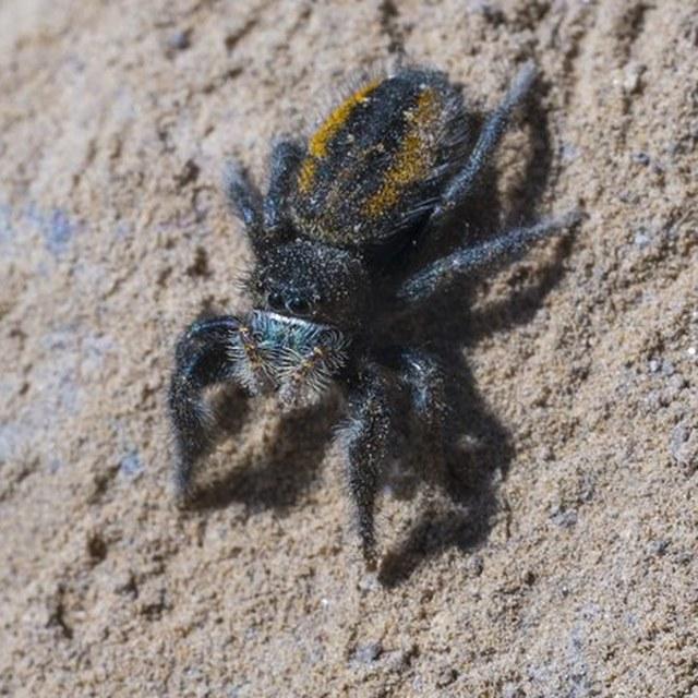 Jumping Spider at Ancient Lakes