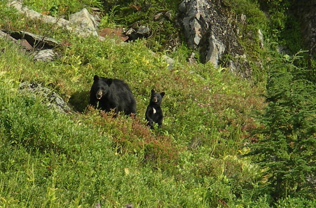 Bear and cub in a meadow