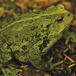 Western Toad 250