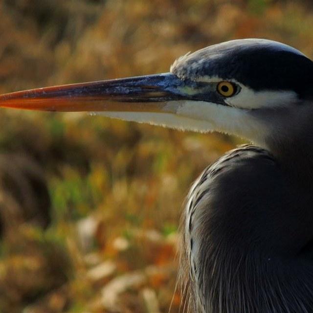 Grey Heron at Nisqually NWR