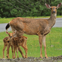 Black-tailed deer and fawns are common in Western Washington.