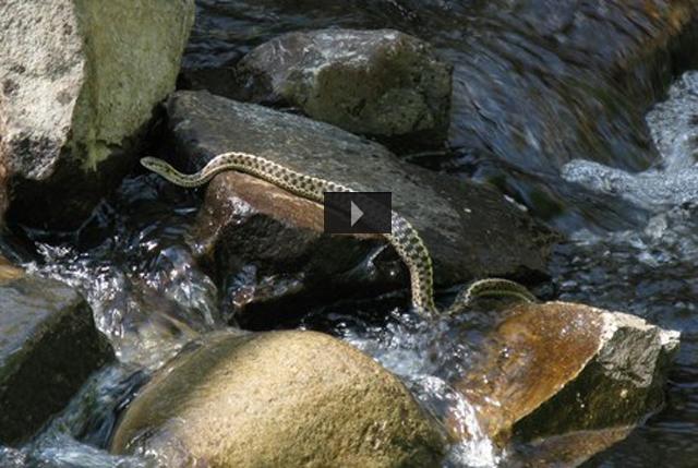Rattlesnake in creek slideshow